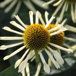 Echinacea purpurea 'Yellow Spider' - Rode zonnehoed