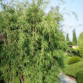 Fargesia nitida Nymphenburg (fijnbladige bamboe, niet woekerende bamboe)