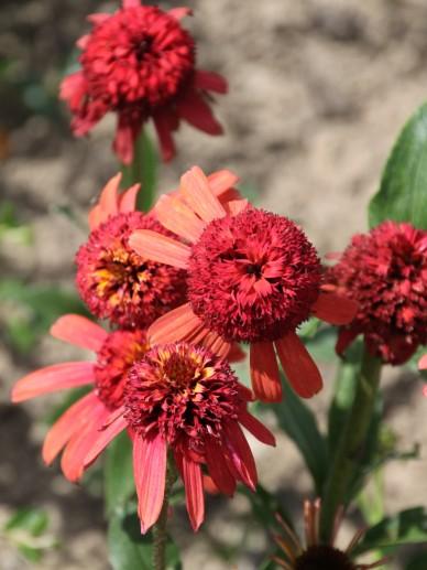 Echinacea purpurea ´Summer Sky´ - Rode zonnehoed