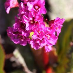 Bergenia cordifolia 'Purpurea' - Schoenlappersplant
