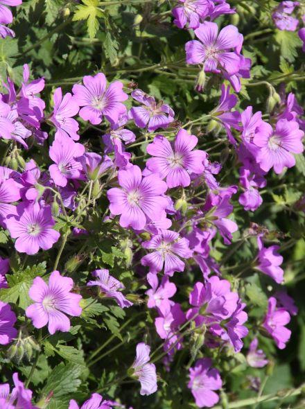 Geranium 'Sirak' (Ooievaarsbek)