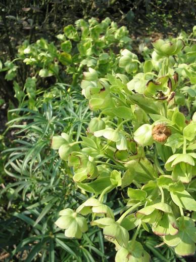Helleborus foetidus - Stinkend nieskruid