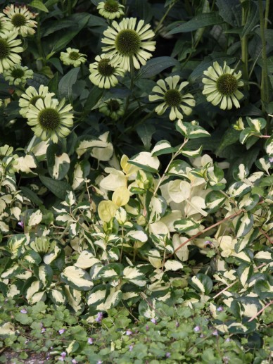 Echinacea 'Jade' - Zonnehoed