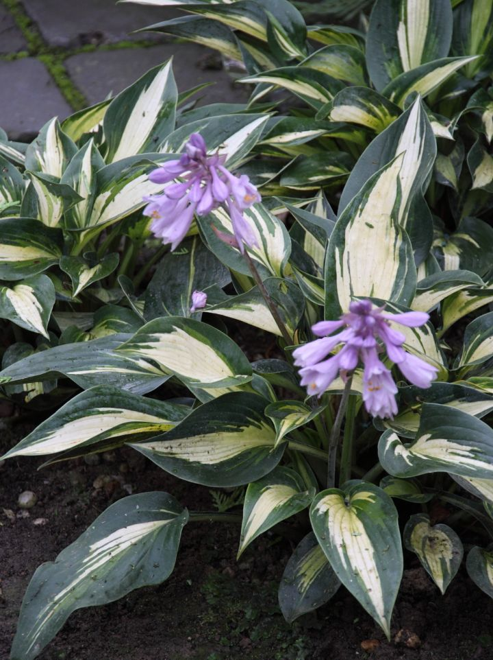 Hosta 'Magic Island' - Hartlelie