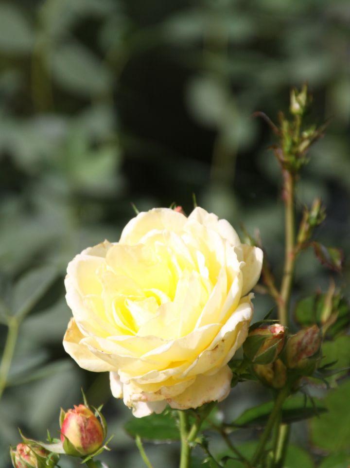 Rosa 'Chambord' - Floribundaroos