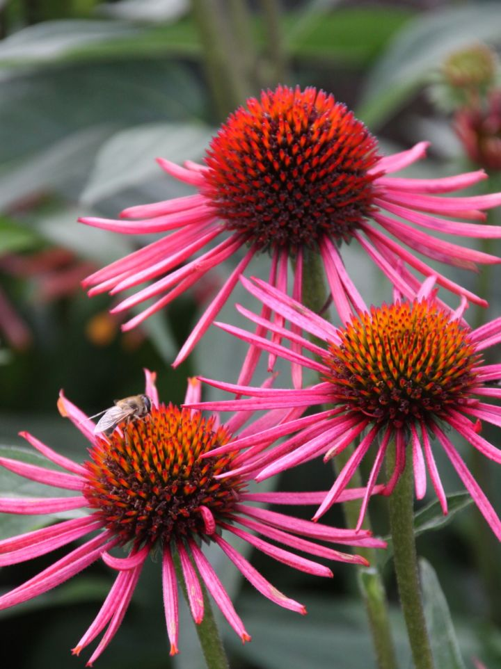 Echinacea purpurea 'Orange Spider' - Rode zonnehoed