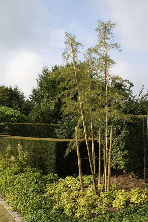 Alnus glutinosa 'Imperialis' (Zwarte els)
