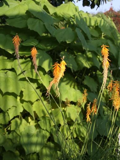 Kniphofia triangularis 'Light of the World' - Vuurpijl, fakkellelie