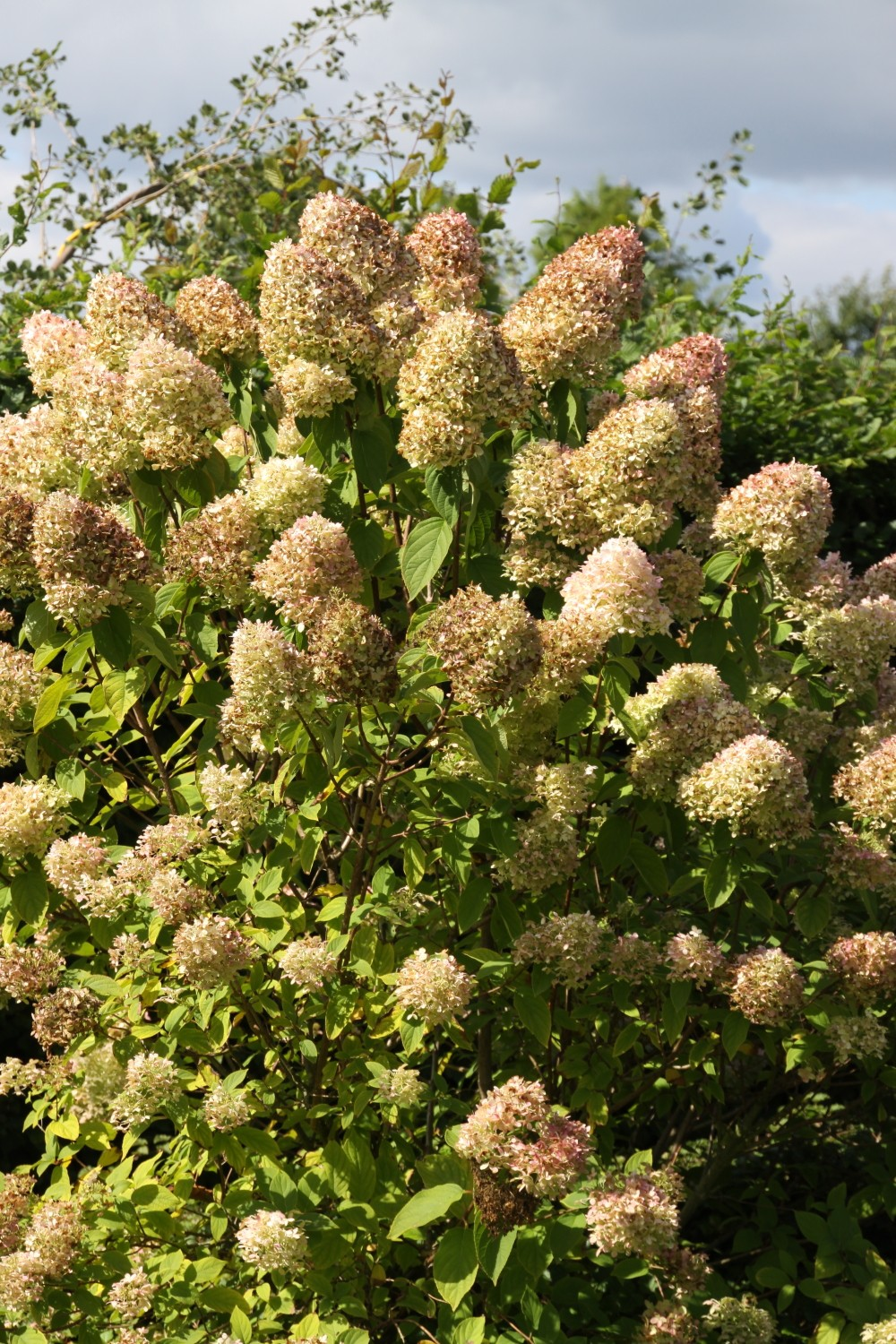hydrangea paniculata 39 limelight 39 pluimhortensia boerenhortensia de tuinen van appeltern. Black Bedroom Furniture Sets. Home Design Ideas