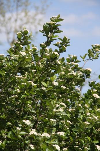 Zwarte appelbes (Aronia melanocarpa, bosplantsoen)