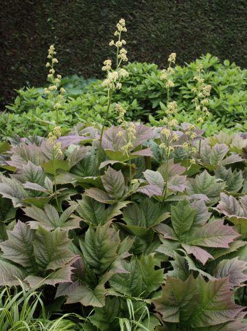 Rodgersia podophylla 'Braunlaub' - Schout-bij-nacht, kijkblad