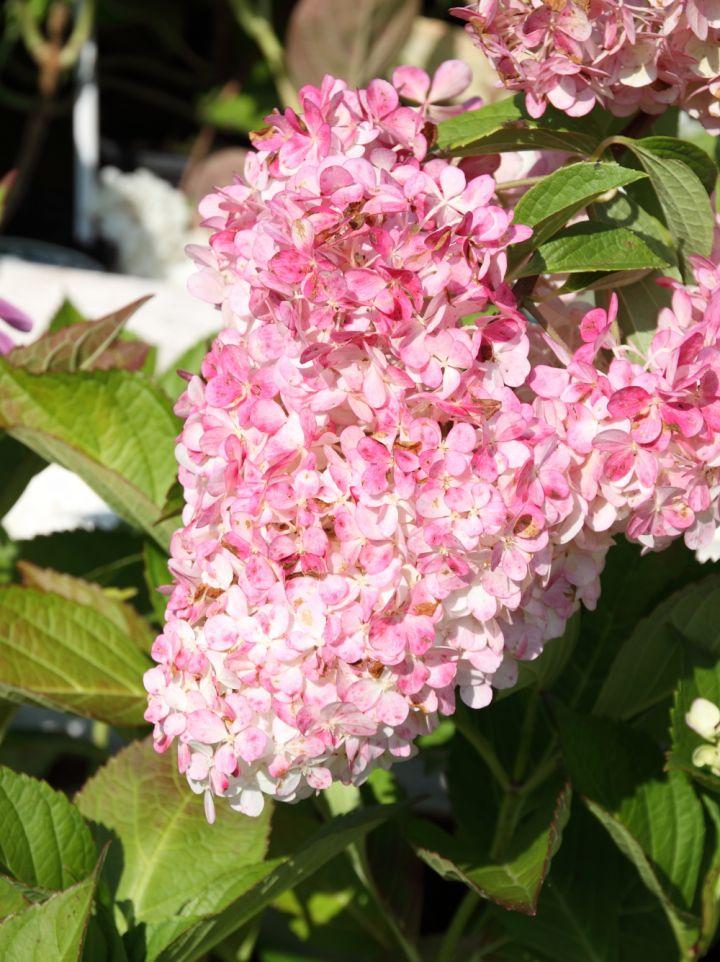 Hydrangea paniculata 'Vanille Fraise' - Pluimhortensia