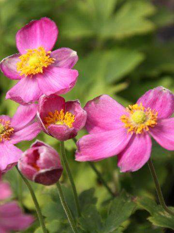 Anemone hybrida 'Pretty Lady Susan' - Herfstanemoon