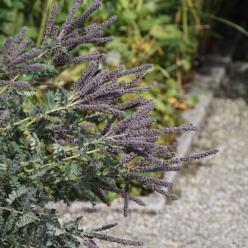 Amorpha canescens - Bastaardindigo, valse indigo