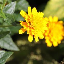 Heliopsis helianthoides 'Asahi' - Zonneoog