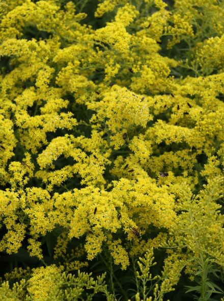 Solidago 'Golden Fleece' (Guldenroede)