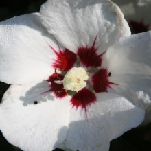 Hibiscus syriacus 'Red Heart' - Althaeastruik