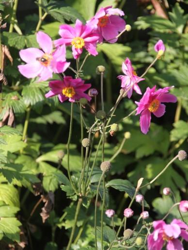 Anemone hupehensis 'Prinz Heinrich' - Herfstanemoon