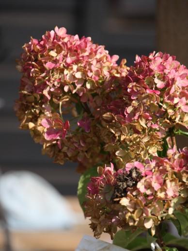 Hydrangea paniculata 'Little Lime' ('Jane') - Pluimhortensia