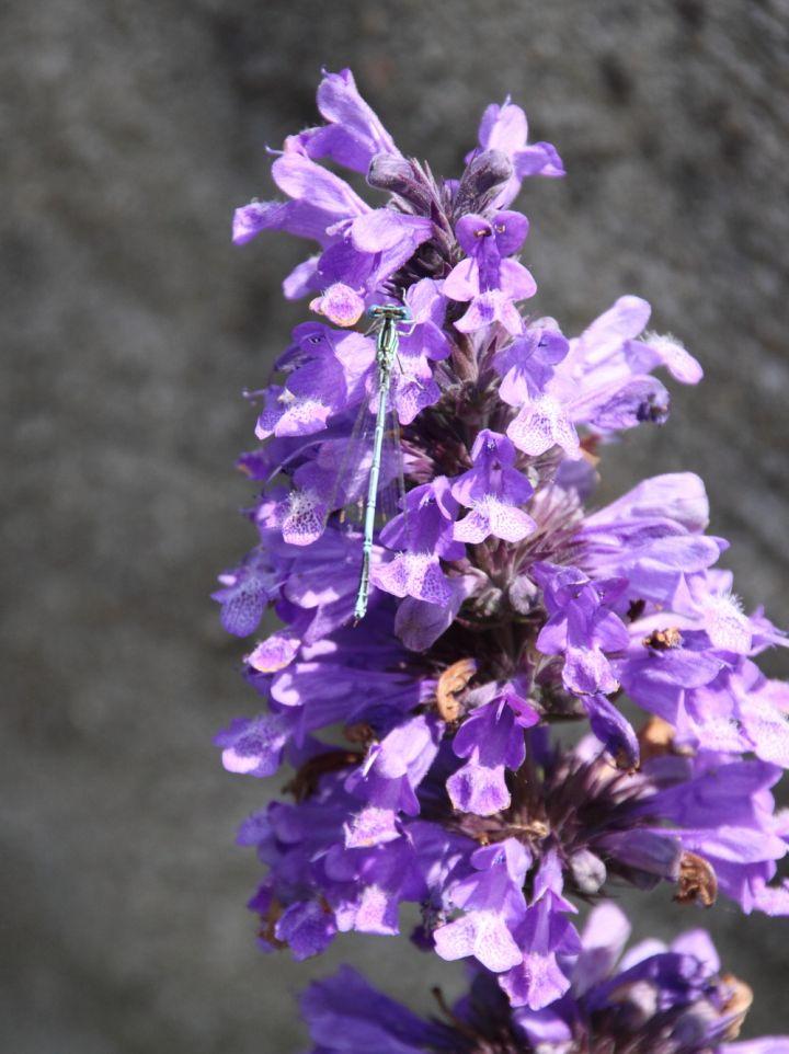 Nepeta kubanica - Kattekruid