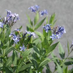 Amsonia 'Blue Ice' - Stermaagdenpalm, blauwe ster