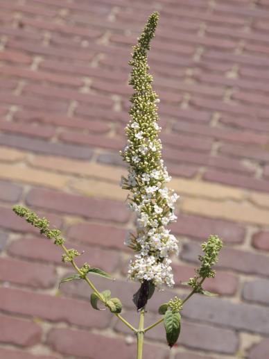 Buddleja caryopteridifolia - Vlinderstruik