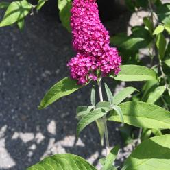 Buddleja davidii 'Sugar Plum' (= 'Lonplum') - Vlinderstruik