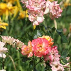 Rosa × odorata 'Mutabilis' = Rosa chinensis 'Mutabilis' - Theeroos