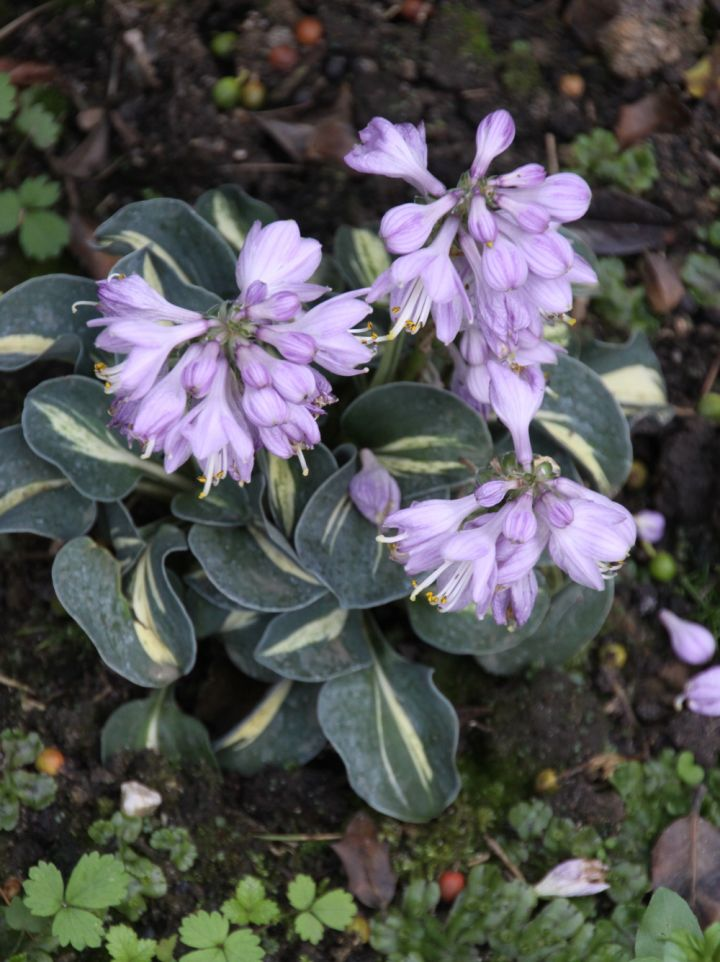 Hosta 'Snow Mouse' - Hartlelie