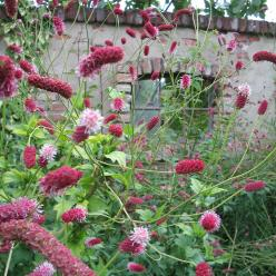 Sanguisorba tenuifolia var. purpurea - Pimpernel