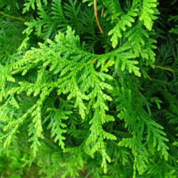 Snoeiregels: Coniferen