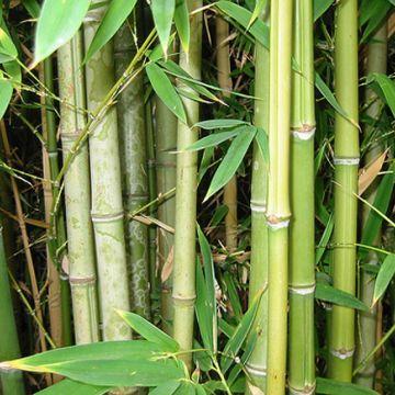 Verzorging van bamboe