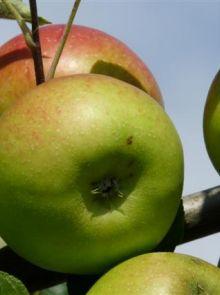 Malus domestica 'Benoni' (Benoni appel, laagstam appelboom)