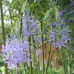 Camassia leichtlinii 'Caerulea' - Prairielelie