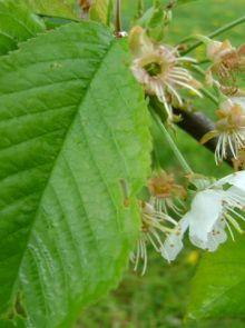 Prunus avium Sunburst (Zoete kers, Sunburst kersenboom)