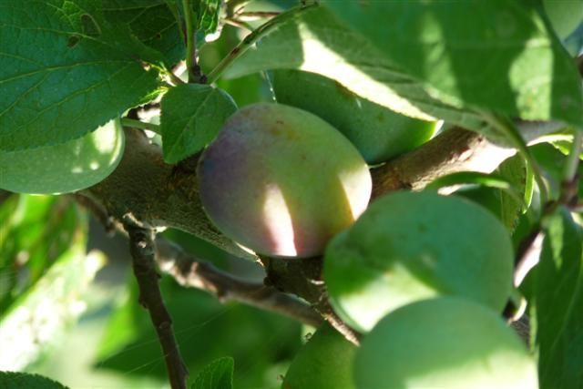 Prunus domestica Anna spath (halfstam pruimenboom)