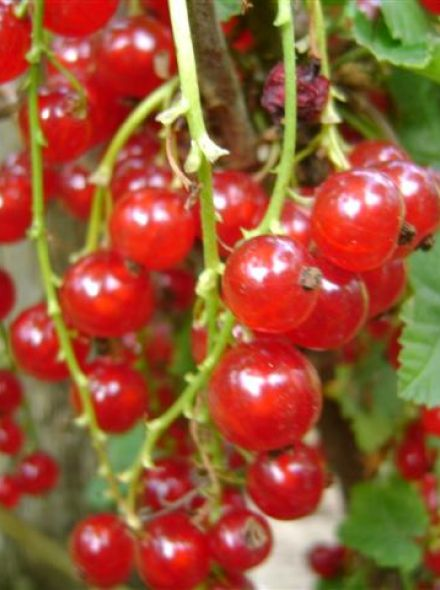 Ribes rubrum Jonkheer van Tets (Rode aalbes, Rode bes) - in pot