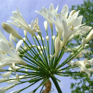 Agapanthus Africanus 'White Storm' (witte Afrikaanse Lelie, weiße Schmucklilien, White Lily of the Nile)