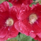Alcea rosea Pleniflora (stokroos rood - p9)