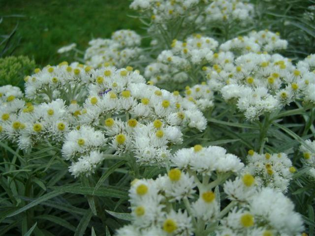 Anaphalis margaritacea (Prachtrozenkransje, Siberische Edelweiss, Witte knoop)