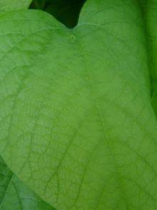 Aristolochia macrophylla - Aristolochia durior  (Duitse pijp, pijpbloem)