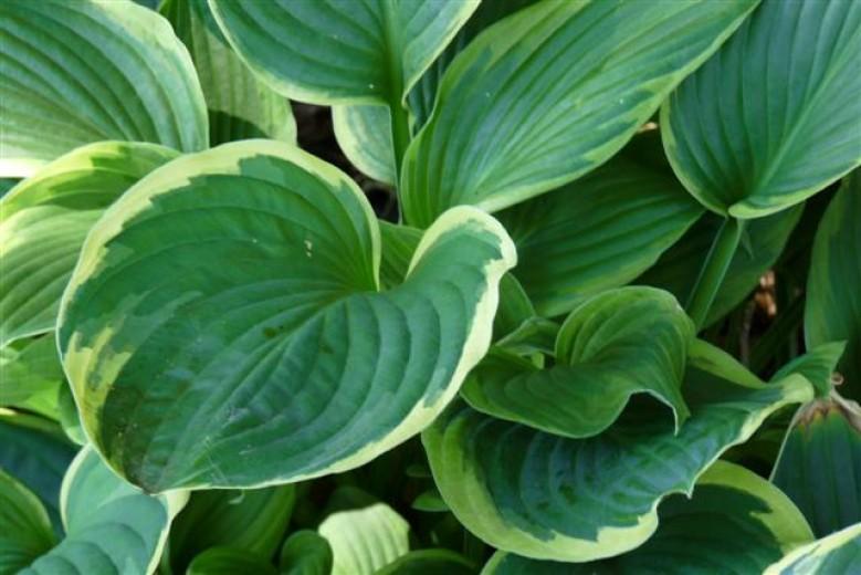 Hosta fortunei Aureomarginata (bontbladige hartlelie, Funkien, Herzblattlilien, Hostas, Plantain lilies)