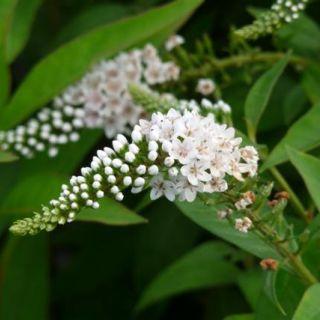 Wederik (Lysimachia clethroides) - p9