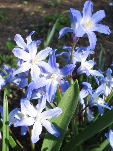 Chionodoxa forbesii 'Blue Giant' - Sneeuwroem