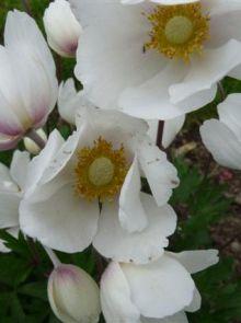 Anemone sylvestris (Witte anemoon)