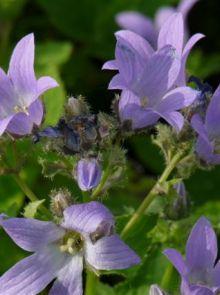 Campanula lactiflora 'Prichard's Variety' (Klokje, Klokjesbloem)