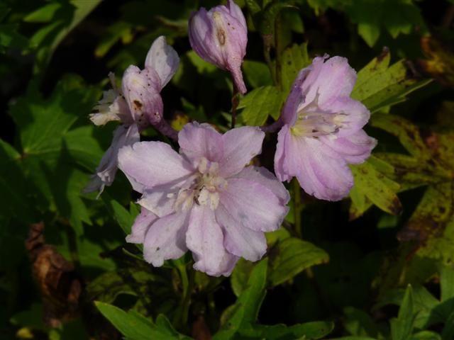 Delphinium pacific 'Astolat' (Ridderspoor)