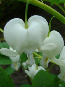 Dicentra spectabilis 'Alba' (Tranend hartje, gebroken hartje)