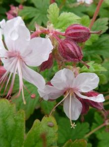 Geranium macrorrhizum 'Spessart' (Ooievaarsbek)