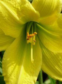 Hemerocallis 'Green Flutter' (Daglelie)